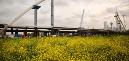 The spans of the Margaret McDermott Bridge take shape behind a field of wildflowers. (Tom Fox, Dallas Morning News)